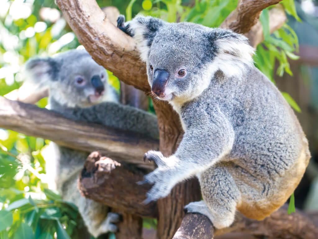 コアラ オーストラリア イメージ